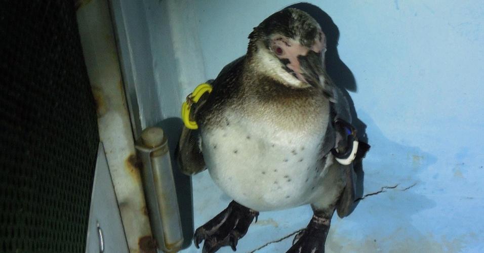 25.mai.2012 - Imagem divulgada pelo Tokyo Sea Life Park, em Tóquio, no Japão, mostra pinguim resgatado após escapar do cativeiro em 4 de março