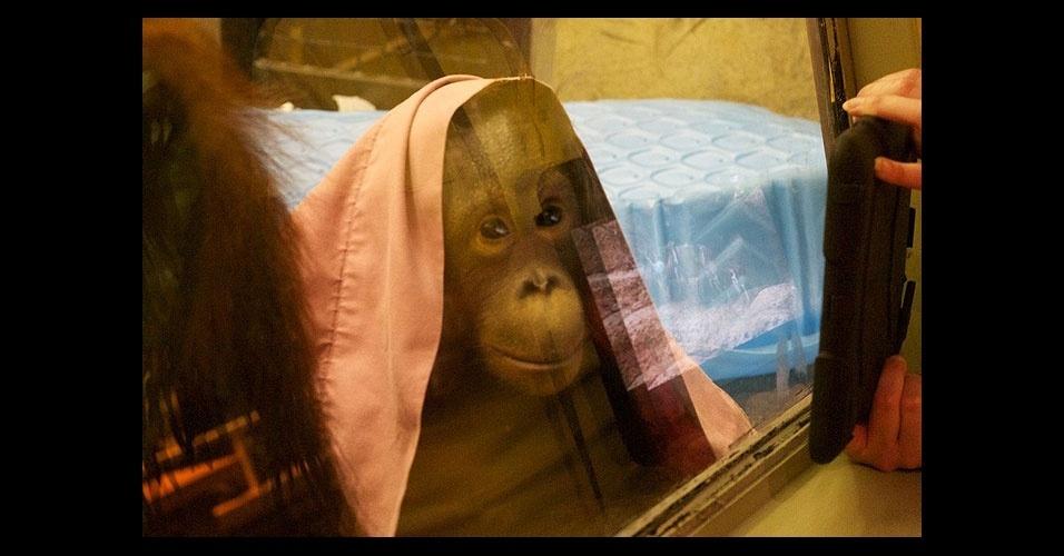 2.jan.2012 - O zoológico norte-americano de Milwaukee, em Wisconsin, passou a usar iPads para estimular mentalmente seus orangotangos. À princípio, os funcionários somente exibiam o iPad, sem permitir que os animais interagissem. ''A resposta positiva foi imediata'', conta a funcionária Trish Kan. Em seguida, os animais puderam também interagir com o tablet através das grades. ''Não podemos dar o iPad para eles, porque são muito fortes e poderiam destrui-lo em pouco tempo'', explicou