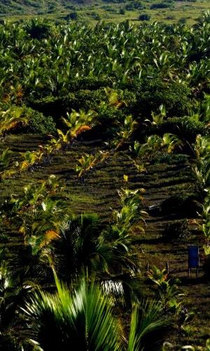 Vista panorâmica de coqueiral na praia de Maraú, na Bahia