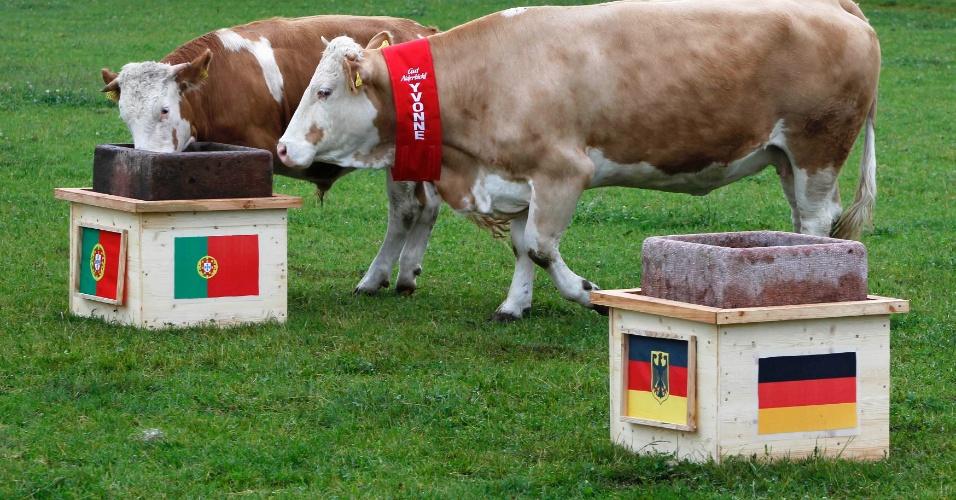 8.jun.2012 - A vaca alemã Yvonne (direita) e seu filho Orki caminham até a manjedoura com a bandeira de Portugal em Deggendorf Eichberg, na Alemanha