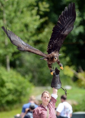 8.jun.2012 - Águia sobrevoa treinadora em zoo de Hannover, na Alemanha