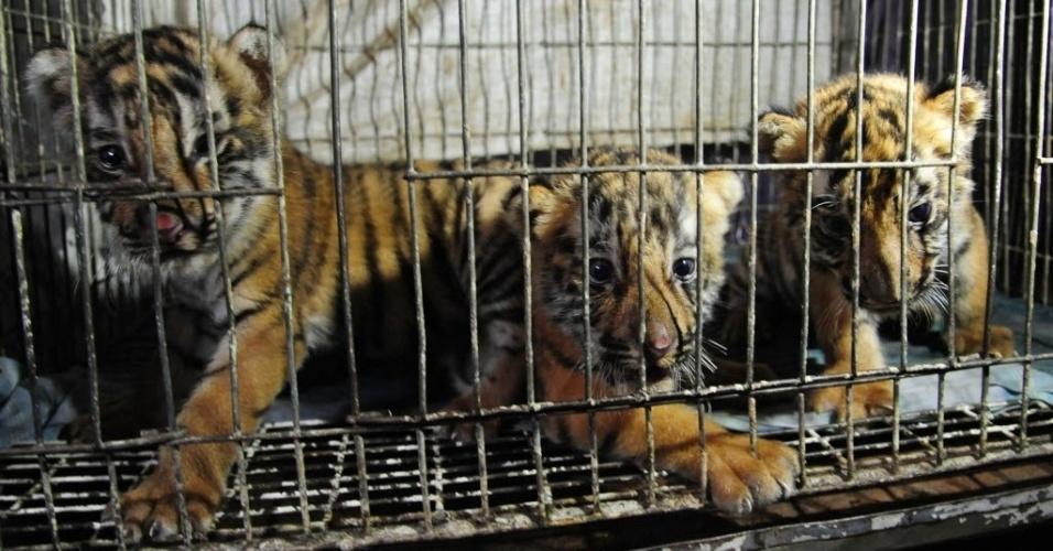 11.jun.2012 - Três filhotes de tigre de bengala foram resgatados pela polícia nesta segunda-feira (11) na cidade de Dhaka, em Bangladesh. Os animais, ameaçados de extinção, seriam vendidos por contrabandistas