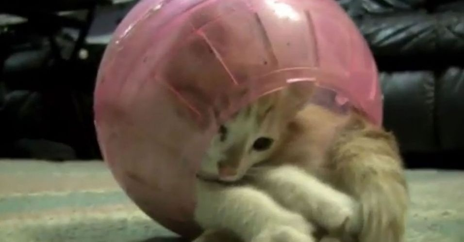 18.jun.2012 - Circense, esse gato se diverte dando uma de contorcionista e entrando dentro de uma bolinha de pl&#225;stico. Ele fica rolando dentro dela e n&#227;o fica tonto