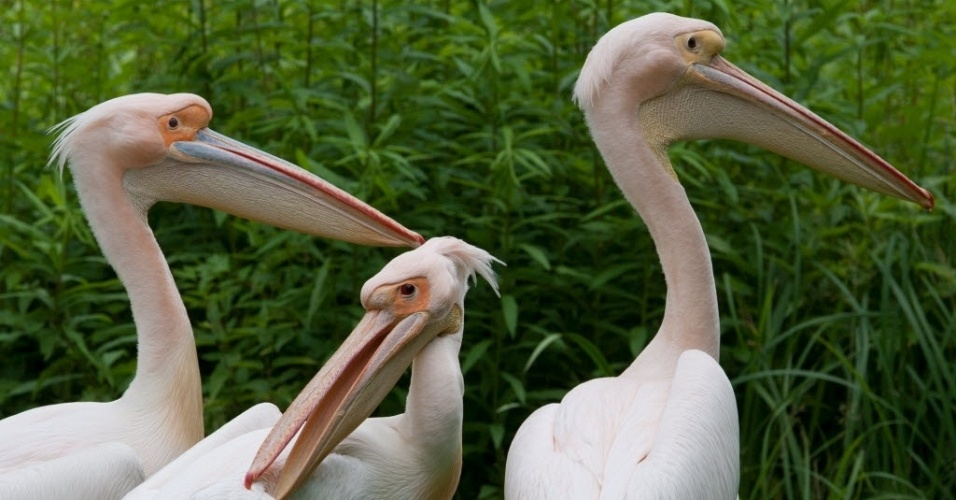 18.jun.2012 - Pelicanos se banham em lago no zoo de Frankfurt, na Alemanha