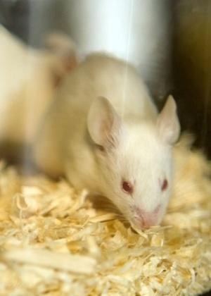 Ratos são usados para testar efeito do colesterol em pacientes de doença do sistema nervoso