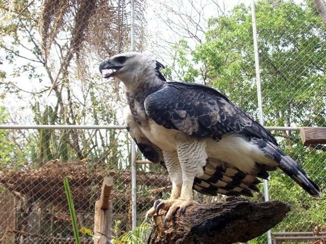 A Harpia é uma ave de rapina de rara beleza. Reverenciada como a mãe de todos os pássaros pelas tribos indígenas da floresta amazônica, possui garras maiores que as do urso pardo norte-americano e consegue arrancar um bicho-preguiça de uma árvore sem interromper seu voo. Ainda assim está ameaçada de extinção.