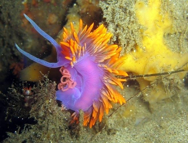 Conhecidos como lesmas marinhas, os nudibrânquios são pequenos animais extremamente coloridos. A riqueza e a vibração de suas cores servem como proteção contra os predadores, não só indicando seu grau de toxidade, como permitindo que se adaptem ao meio em que vivem e se camuflem com perfeição.