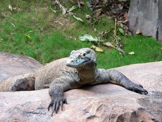 Ele não cospe fogo como o ser da mitologia, mas tem uma língua bifurcada da qual escorre uma baba mortífera e dentes pontiagudos e serrilhados. O dragão de Komodo é um lagarto enorme que vive nas ilhas indonésias e tem um olfato apuradíssimo que usa principalmente para farejar suas presas em potencial.
