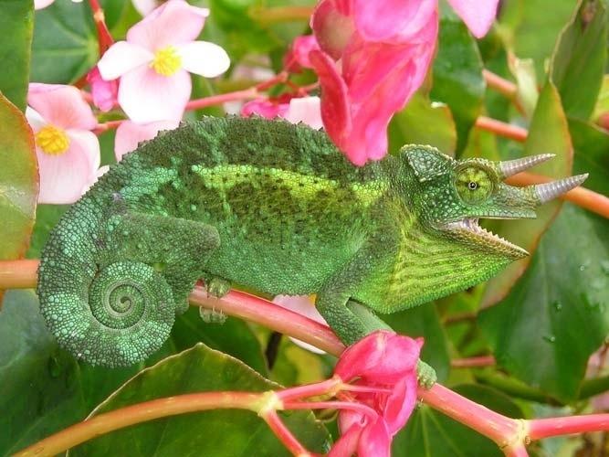 O camaleão muda de cor para se proteger. E também se mimetiza quando está caçando. Com dedos voltados para a frente e para trás, suas patas agarram com segurança os arbustos e sua língua pode saltar com grande agilidade para agarrar um inseto. É uma das espécies mais interessantes da família dos lagartos.