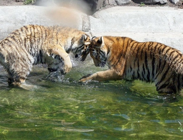 22.jun.2012 - Tigres brincam em piscina no zoo de Magdeburg, no leste da Alemanha