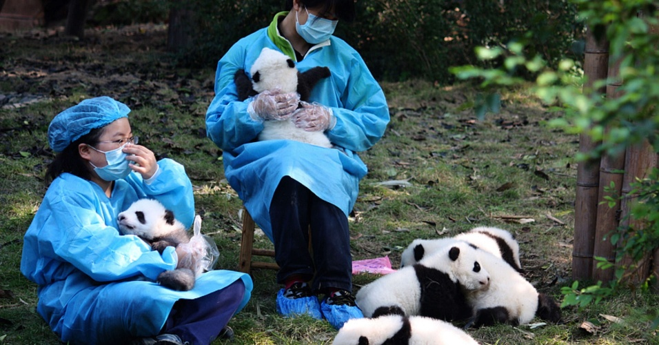 24.jun.2012 - Funcion&#225;rios mostram filhotes de pandas gigantes em Chengdu, na China para atrair visitantes para o festival do Barco do Drag&#227;o. O pa&#237;s est&#225; engajado na ??diplomacia do panda??, enviando os animais como presentes diplom&#225;ticos para outros pa&#237;ses
