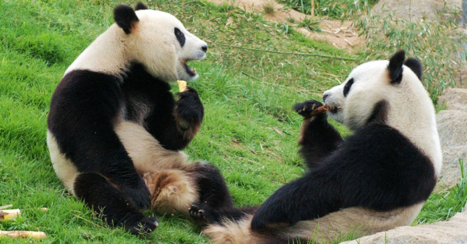 24.jun.2012 - Pandas comem brotos de bambu em Sichuan, sudoeste da China