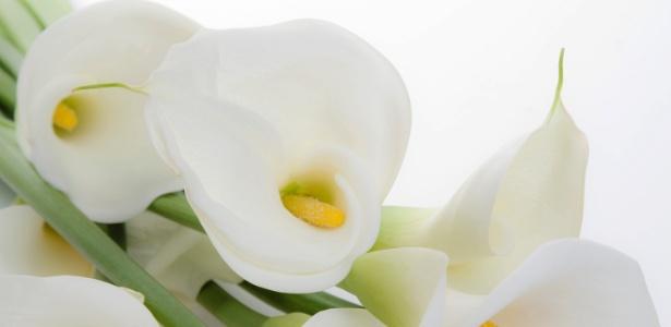 De coloração branca, as flores do copo de leite são firmes e duráveis; indicadas para arranjos florais