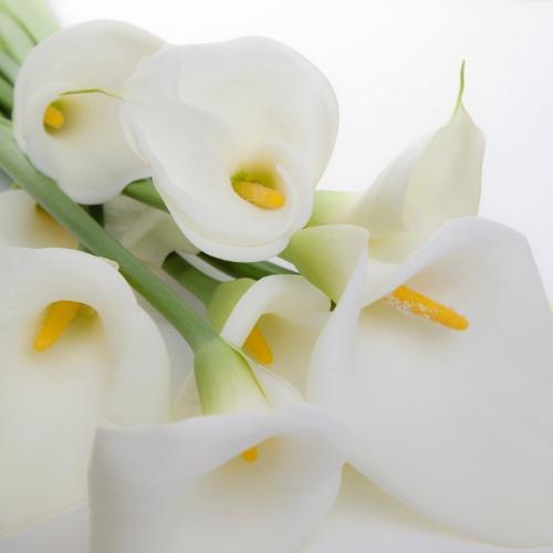 Associado a pureza, o copo de leite (Zantedeschia aethiopica) é excelente para arranjos florais. Sua folhagem é verde brilhante e muito ornamental. Já as flores são grandes, firmes e duráveis, de coloração branca. A seleção e o cruzamento com outras espécies têm gerado flores de outras cores, como o amarelo, o vermelho, o rosa, o laranja e o roxo. Em média um copo de leite dura de 10 a 15 dias depois do corte