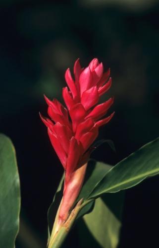 plantas jardim nordeste: planta produz flores pequenas de coloração branca e brácteas
