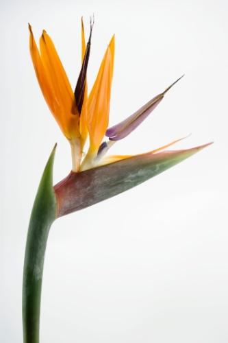 Muito ornamental, a estrelizia (Strelitzia reginae) é uma planta rústica, indicada para quem prioriza a durabilidade e não quer ter muita preocupação. Suas flores podem se manter bonitas por até quinze dias