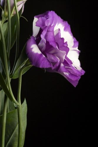 O lisianto (Eustoma grandiflorum) é uma planta de flores muito duráveis, grandes e podem ser simples, semidobradas ou dobradas, de coloração azul, rosa, violeta ou branca, além de mesclas e tonalidades intermediárias. É muito usada para decorar ambientes, formar ramalhetes e compor buquês de noivas