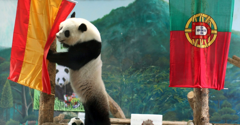 27.jun.2012 - A panda Lin Ping prevê que a Espanha ganhará de Portugal na semifinal da Eurocopa 2012