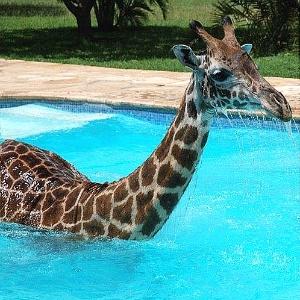 A girafa Monduli nada na piscina de resort na Tanzânia