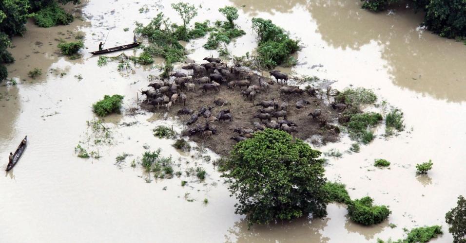 2.jun.2012 - Homens conduzem canoas próximo a porção de terra onde búfalos ficaram ilhados em Sonitpur, na Índia, após tempestades na região