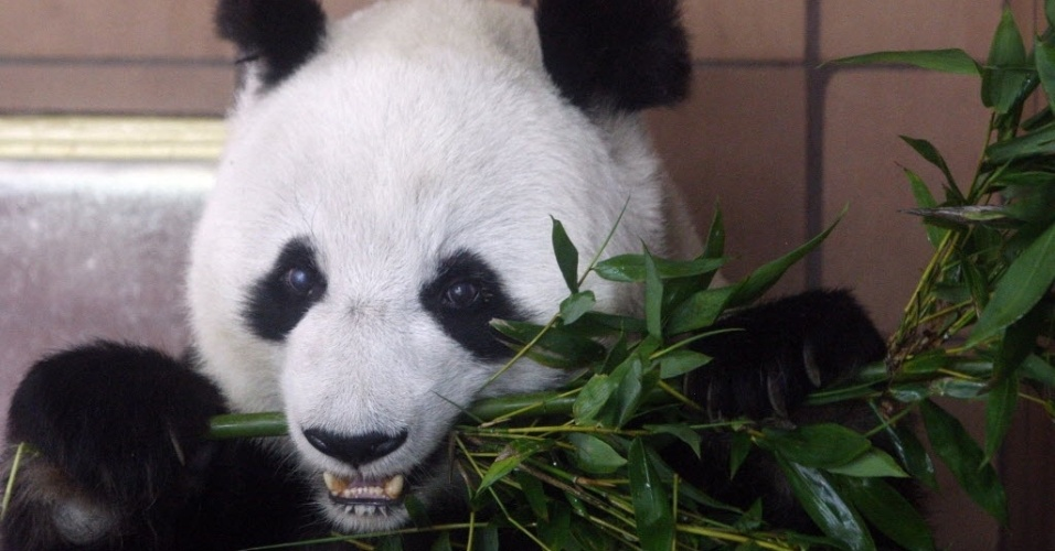 5.jul.2012 - Panda gigante se alimenta no Zool&#243;gico de Chapultepec, na Cidade do M&#233;xico
