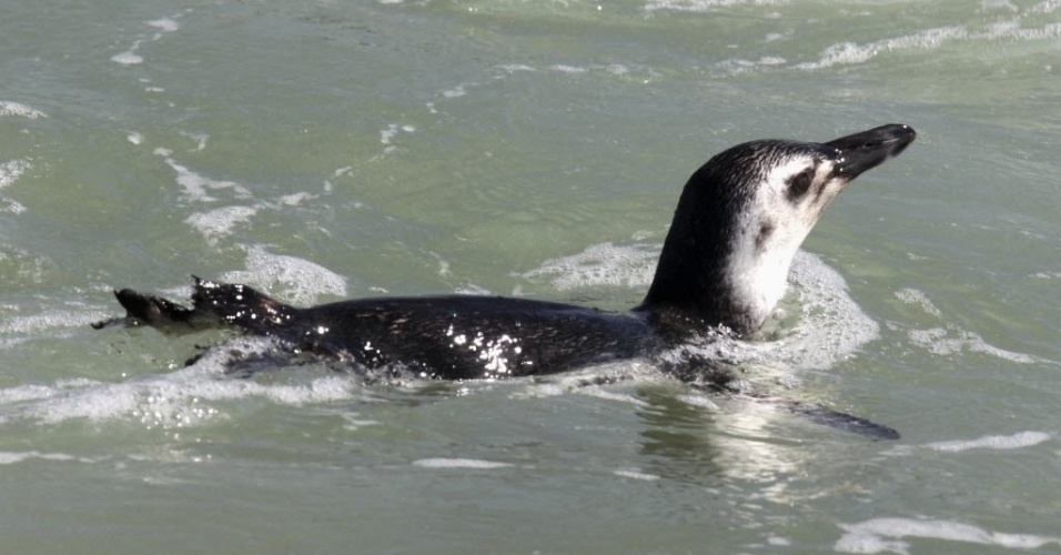 5.jul.2012 - Pinguim visto na praia do Arpoador, no Rio de Janeiro