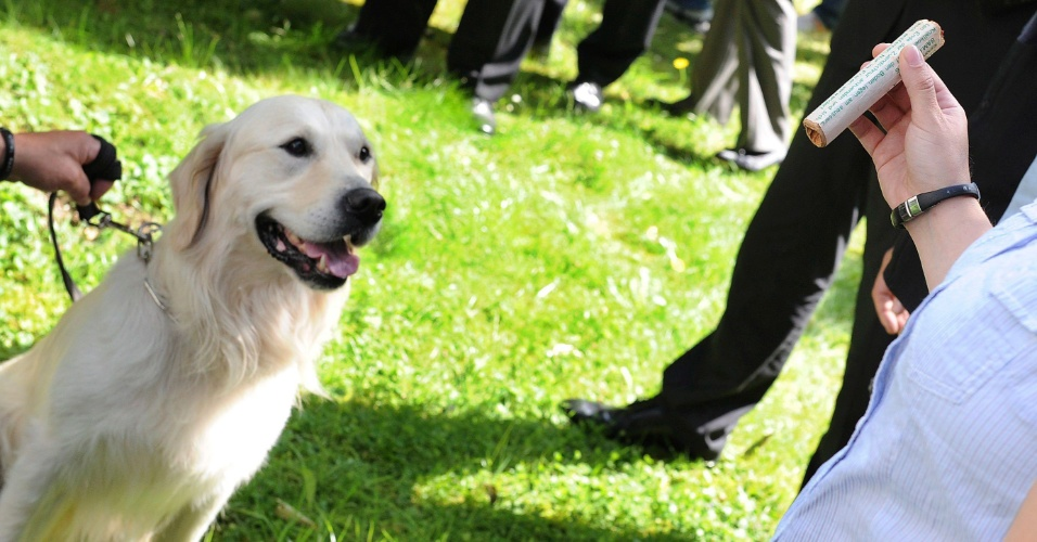 9.jul.2012 - Rockey, um golden retriever especialista em detectar material explosivo, observa atentamente um explosivo em Hannover, na Alemanha, durante treinamento feito pela pol&#237;cia nesta segunda-feira (9). O objetivo &#233; usar a habilidade dos c&#227;es contra o uso de material pirtot&#233;cnico em est&#225;dios de futebol do pa&#237;s
