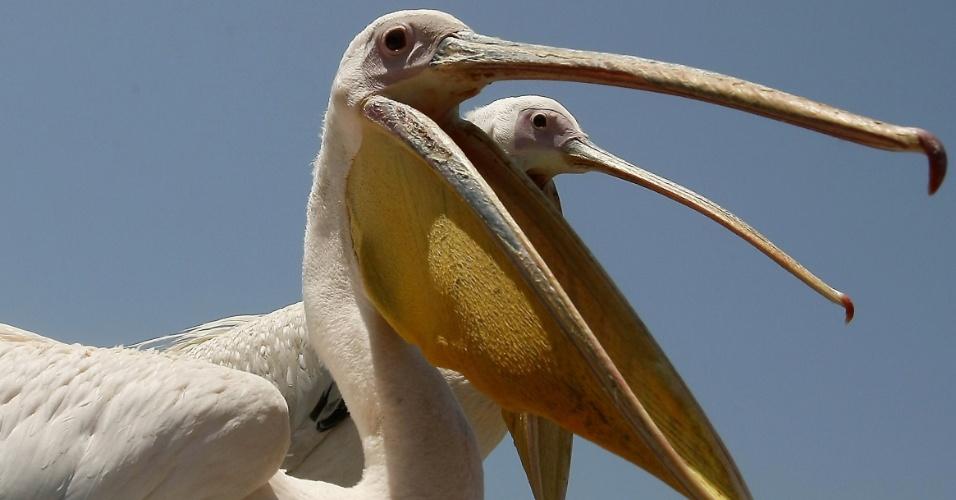 10.jul.2012 - Foto mostra dois pelicanos feridos que foram resgatados nesta terça (10) por um pescador em na cidade portuária de Sidon, no Líbano