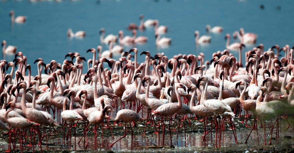 11.jul.2012 - Mais de 1,5 milh&#227;o de flamingos vivem &#224;s margens do lago Bogoria, no Qu&#234;nia