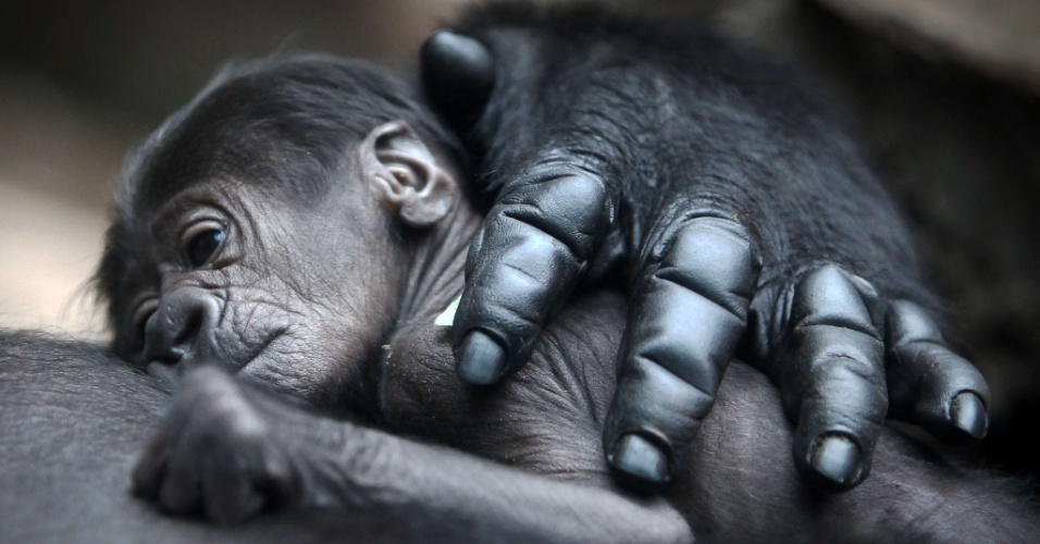 12.jul.2012 - Um beb&#234; gorilla dorme no colo de sua m&#227;e no zool&#243;gico de Frankfurt, na Alemanha