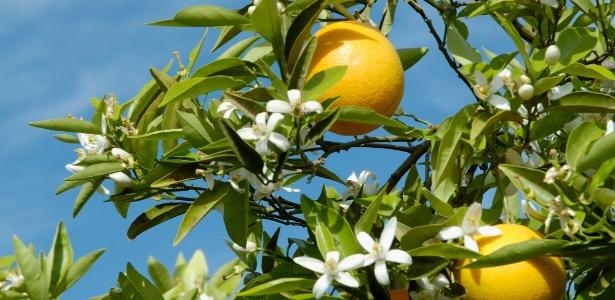 Laranjeira precisa de pleno sol para dar frutos veja como cultivála