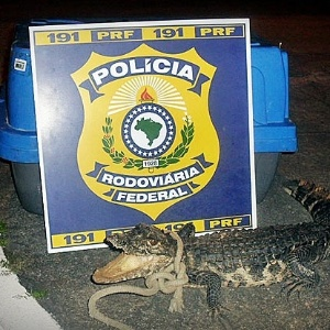 14.jul.2012 - Um filhote de jacar&#233; foi apreendido pela Pol&#237;cia Rodovi&#225;ria Federal na rodovia BR-101, em Itaporanga D&#39;Ajuda (SE). O animal caminhava pela estrada e corria risco de ser atropelado, de acordo com a pol&#237;cia