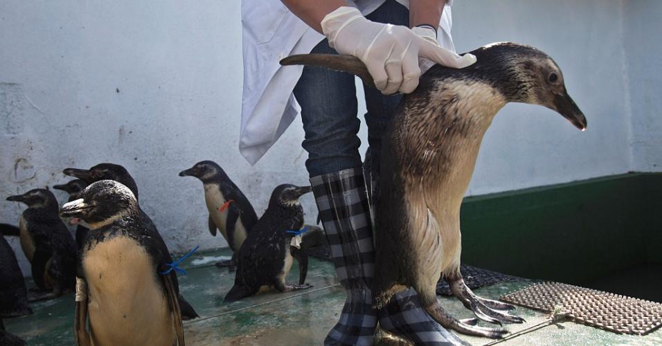 17.jul.2012 - Ibama encontra pinguins sujos de óleo na costa do Rio de Janeiro. Para detectar o local do vazamento do óleo ou do petróleo, o instituto irá analisar o DNA dos animais. As amostras das penas sujas estão na Clínica de Recuperação de Animais Silvestres da Universidade Estácio de Sá, em Vargem Pequena, zona oeste do Estado