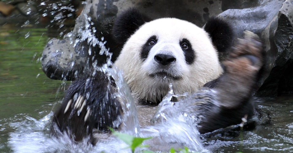 19.jul.2012 - Urso panda f&#234;mea brinca no lago de um zool&#243;gico em Guilin, na regi&#227;o aut&#244;noma de Guangxi, China