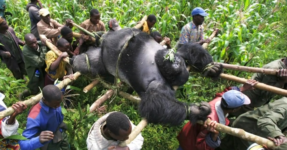 25.jul.2012 - No parque nacional de Virunga no Congo se concentram 200 gorilas-de-montanha, o que representa 25% de toda a popula&#231;&#227;o da esp&#233;cie