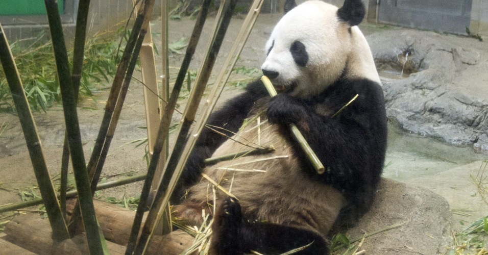 25.jul.2012 - O panda-gigante macho Li Li come bambu no zool&#243;gico de Ueno, em T&#243;quio, no Jap&#227;o. Li Li &#233; o pai do primeiro fihlote de panda-gigante nascido nos &#250;ltimos 24 anos no zool&#243;gico, que morreu no &#250;ltimo dia 11 de julho