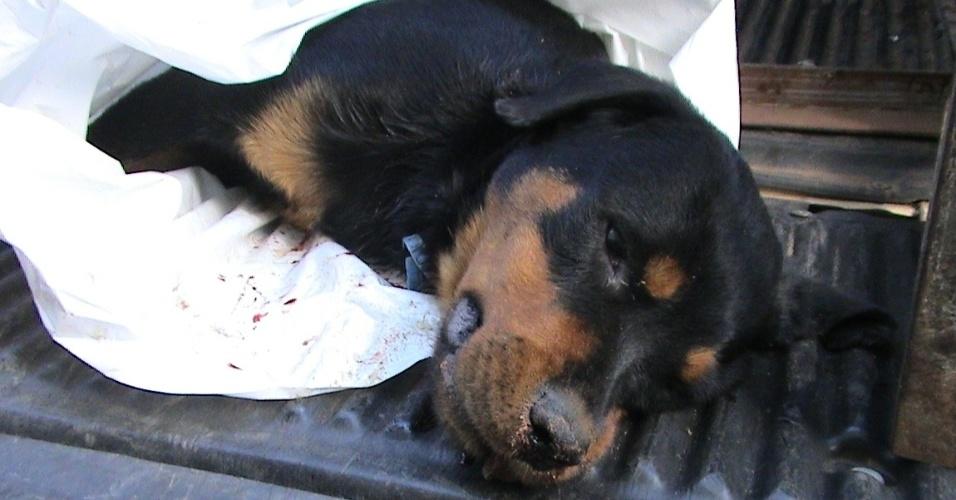 26.jul.2012 - Cadela mestiça da raça rottweiler é morta com um tiro no pescoço, em Hortolândia (SP). O crime teria sido cometido por um agente penitenciário, na manhã desta quinta-feira (26)