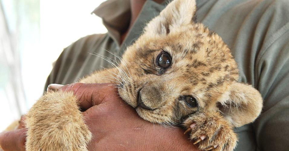 26.jul.2012 - Funcionário carrega nesta quinta-feira (26) a leoazinha Kalila, de apenas 45 dias de vida, em zoológico da Jordânia, próximo a Amã