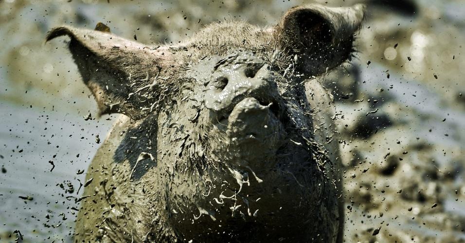 """26.jul.2012 - Porco brinca nesta quinta-feira (26) na """"melhor piscina de lama"""" da Holanda, em Buren. A organização holandesa do bem-estar dos animais Wakker Dier, escolheu a piscina por seu tamanho, profundidade e lama ideais para um porco se refrescar durante o verão"""