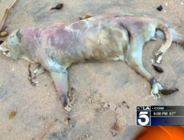 Animal n&#227;o identificado &#233; encontrado nas areias de uma praia de Seal Beach, no Estado da Calif&#243;rnia (EUA)