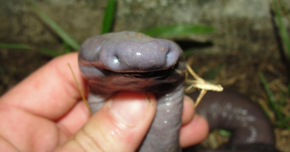 """01.ago.2012 - Exemplar (foto 5) da espécie """"Atretochoana eiselti"""", anfíbio raro encontrado em Rondônia"""