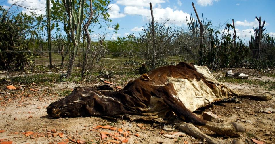 1°. ago.2012 - Animal morre por causa da  seca  que atinge a região de Santa Luz (258 km de Salvador), centro oeste baiano, entre os municipios de Queimadas e Serrinha