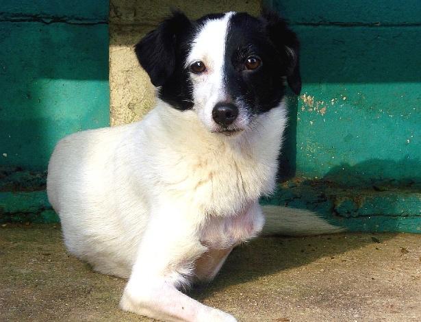 Cachorrinha Manu, de Santos, perdeu duas patas e anda normalmente