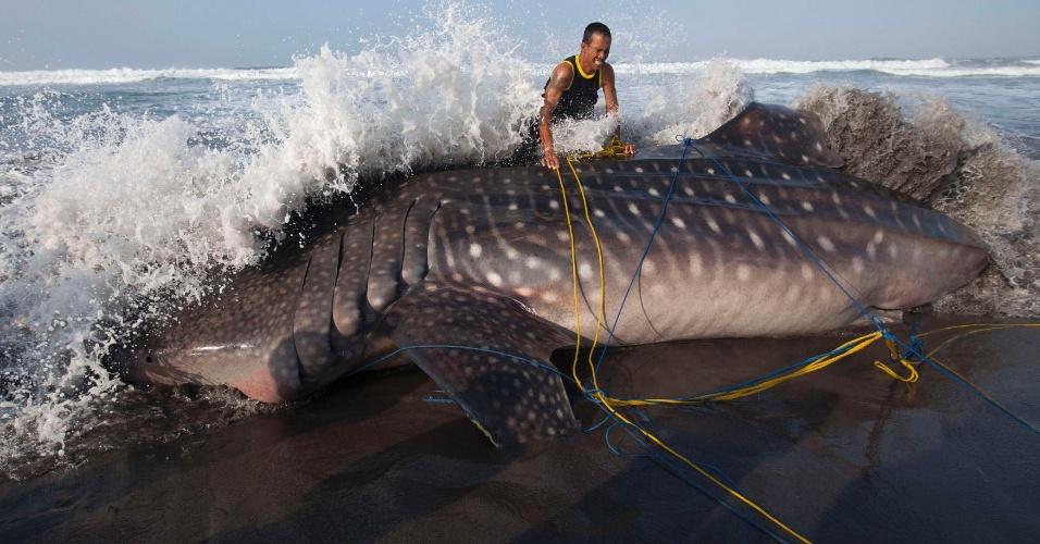 4.ago.2012 - Tubarão-baleia morre, após encalhar em um praia da Indonésia