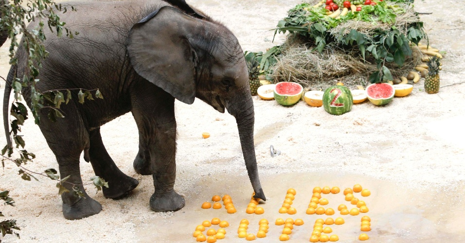 """6.ago.2012 -  Elefante africano aproveita a comida deixada em forma de frase para celebrar seu segundo aniversário no zoológico Schoenbrunn , em Vienna, na Áustria. Os vegetais formam a frase """"Alles Gute"""", que signifita, """"tudo de bom"""""""