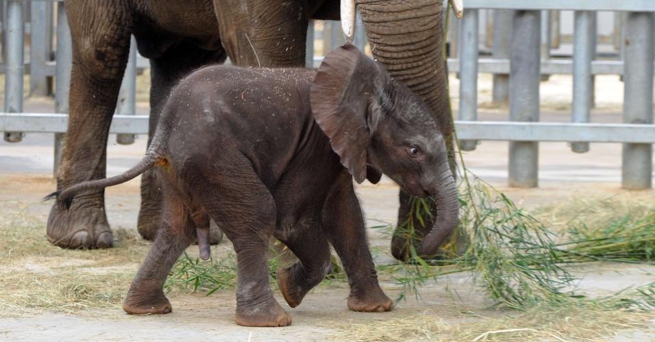 6.ago.2012 - Runge, o primeiro elefante a nascer de inseminação artificial na França, dá seus primeiros passos ao lado da mãe, N'Dala, no zoológico francês de Beauval. O elefante africano nasceu no último dia 20 de julho após uma gestação de 23 meses