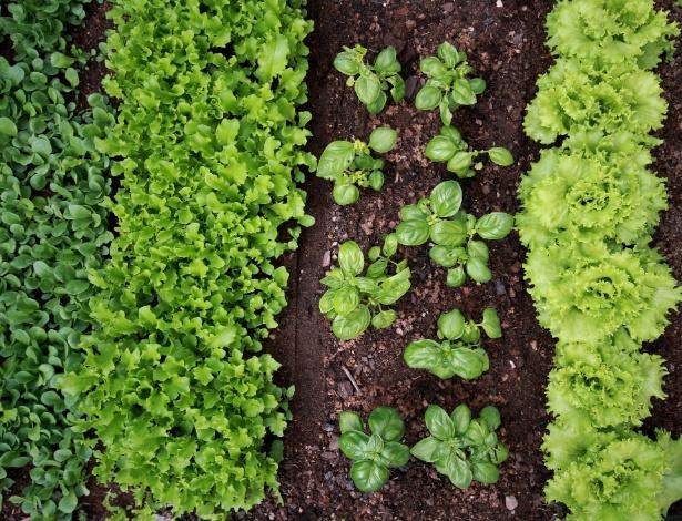 Uma vantagem do cultivo no inverno é a escassez de chuvas fortes que podem danificar as hortaliças