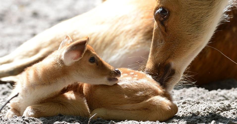 07.ago.2012 Filhote de cervo Barasingha com 1 mes de vida, junto à sua mãe no recinto no zoológico de Berlim