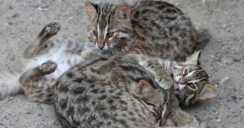 07.ago.2012 Filhotes de gato selvagem (Felis bengalensis euptilura), com três meses de idade, brincam em um recinto no zoológico Ruchey Royev, em Krasnoyarsk, na Rússia