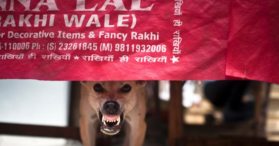 7.ago.2012 - Cão de rua rosna debaixo de mesa de restaurante em Nova Déli, Índia